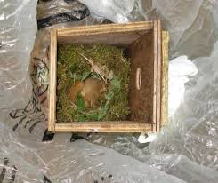 dormouse-nest-in-box
