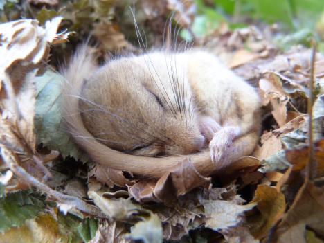 dormouse-sleeping