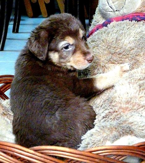 choc-puppy