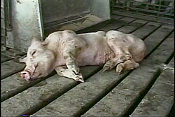 Ireland: Pig Abuse Investigation Undertaken and Exposed by ...