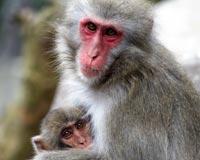 primates_macaques