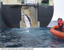 whaling_japan_australian_customs@body
