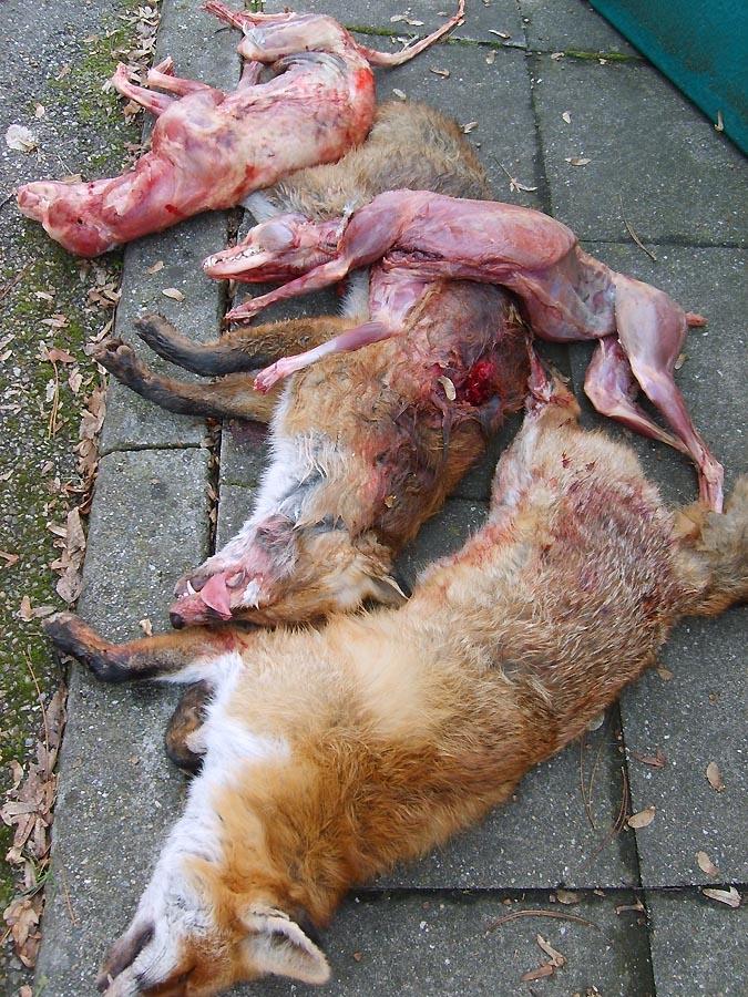 germany fox week update 08 02 10 more killings