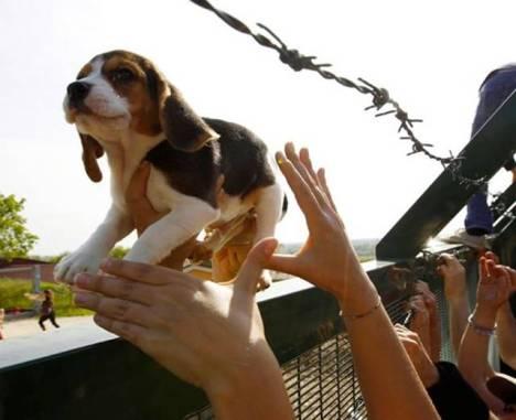 it beagle1