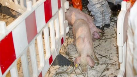 German piglets 1