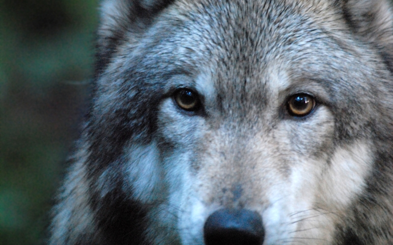 Wolves Vs Man United Wallpaper: USA: Help Protect The Wolves Of The United States