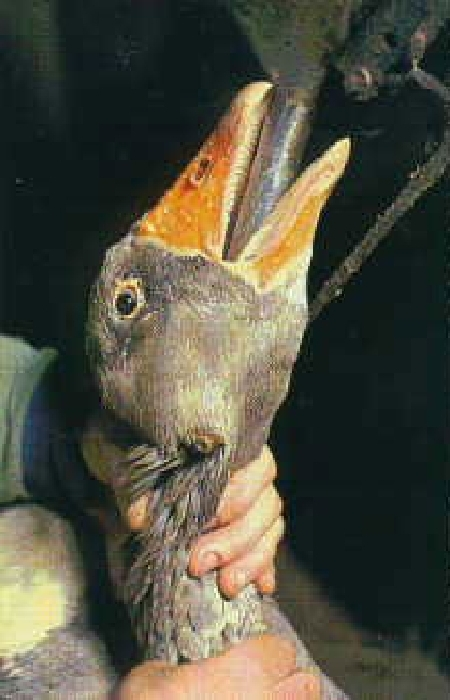 foie gras 7