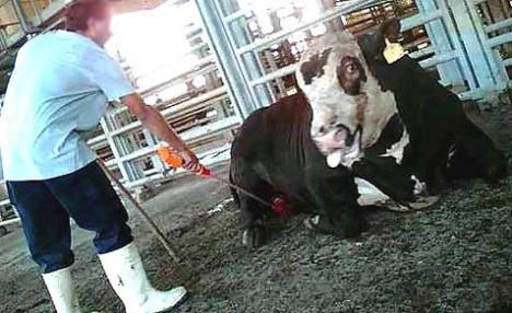 jewish press calf