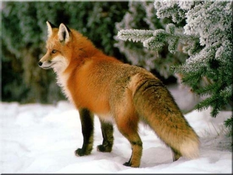 red_fox2