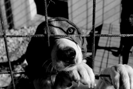 Bos Hertz Dog 1