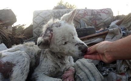LA Husky rescue