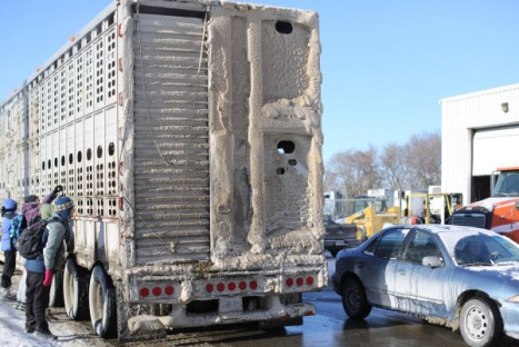 Slaughter animals freeze in truck