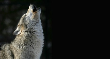wolves7