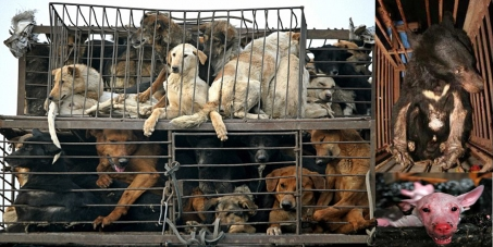 China Yulin dog
