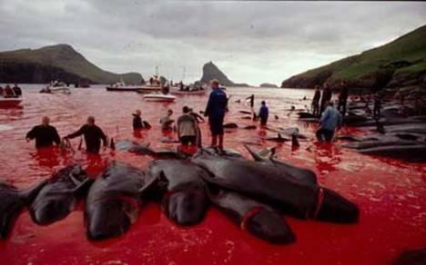 Faroe whale slaughter