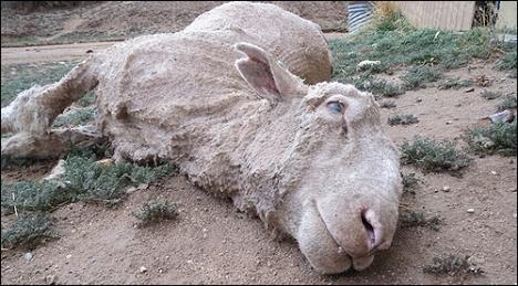 peta sheep