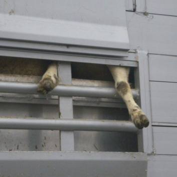 Image result for live animal transport suffering