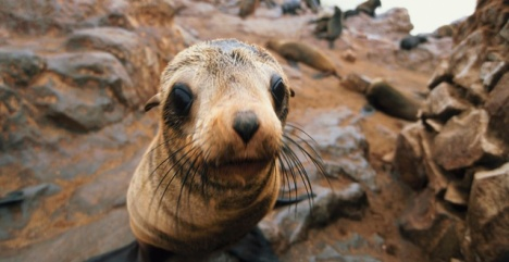 Namibia seal clubbing
