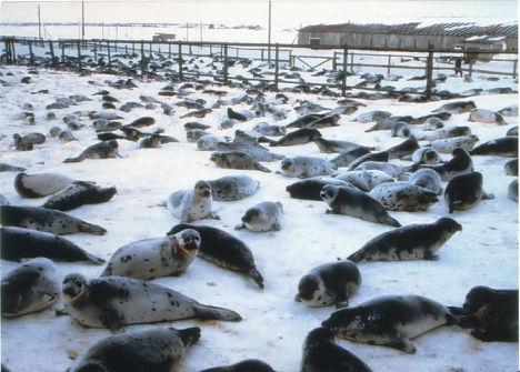 Russian seal farm