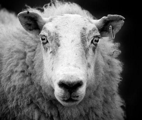 sheep123
