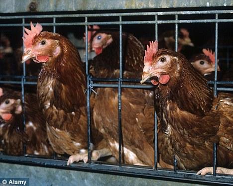 batt hens