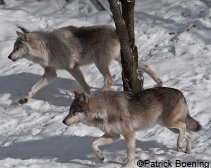 Wolves hunting!