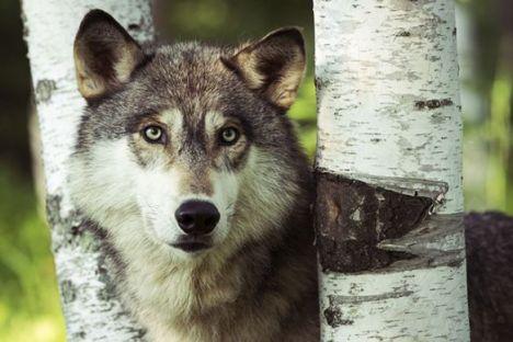 michigan grey wolf