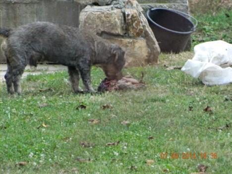 serbia goat 1