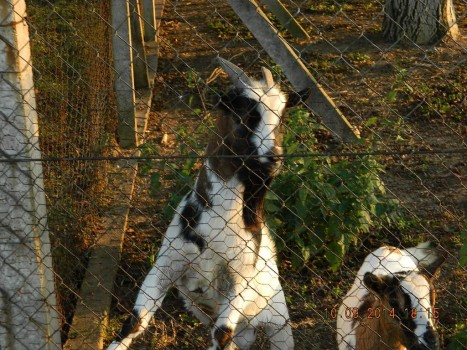 serbia goat 2