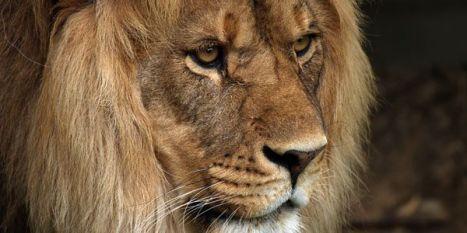 GD Lion