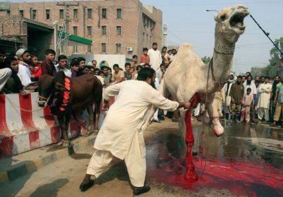 halal camel
