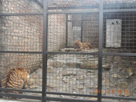 tiger zoo1