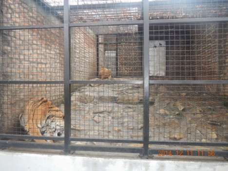 tiger zoo2