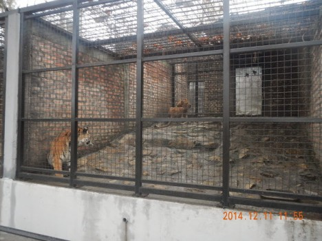 tiger zoo3