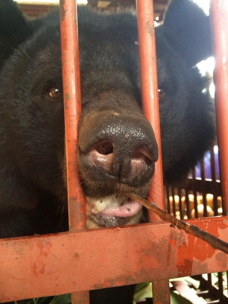 AA bear rescue