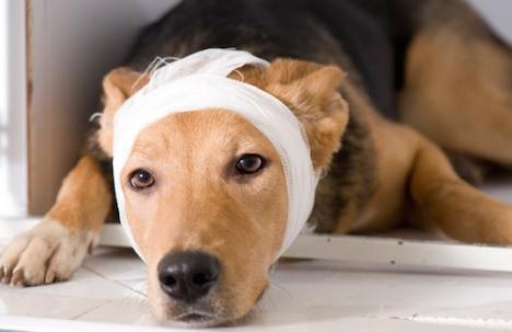 dog bandadge head