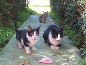 HarTurk cats