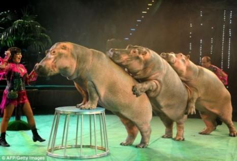 circus hippos