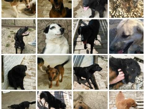 Lina 16 dogs