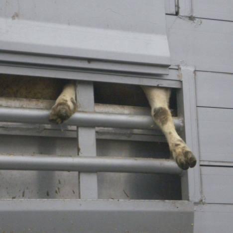 sheep legs ramsgate
