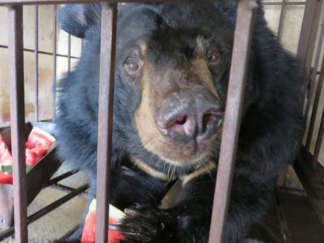 AA bear rescue 5 may 1
