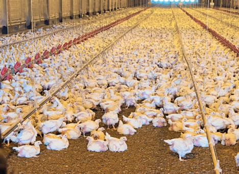 Broilers on the Bobby Morgan chicken Farm in Luling, Texas.