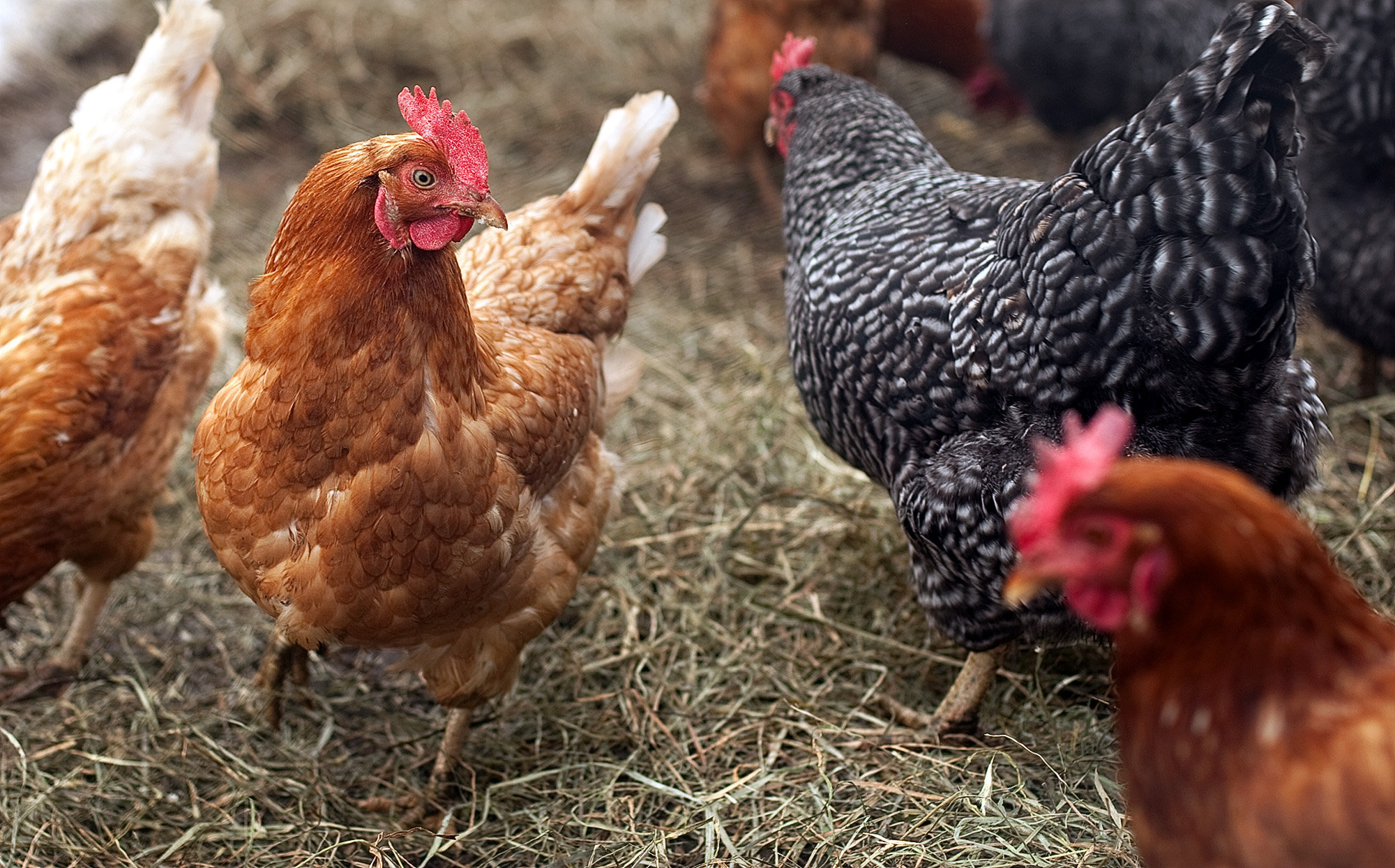 10 Facts About Chickens. | Serbian Animals Voice (SAV)