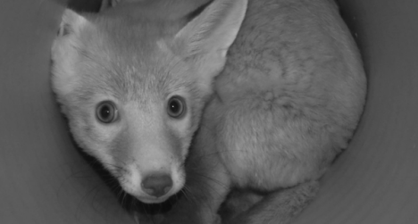 fox cubs kidnapped