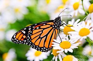 monarch 1 june
