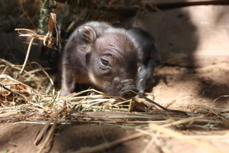 piglet-looking