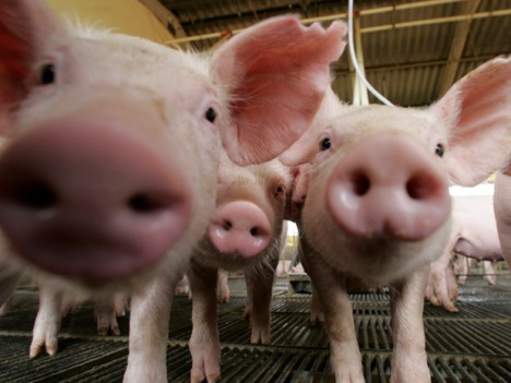 Pigs are seen at a farm in Lucas do Rio Verde, Mato Grosso state in western Brazil, February 28, 2008. Industrial companies are being attracted to the western of Brazil by the abundant supply of grains and oilseeds and will be complementary on their activities in the region.  REUTERS/Paulo Whitaker (BRAZIL)