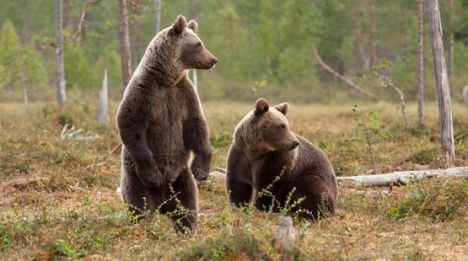 romania forest bears