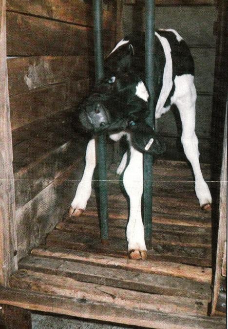 calf crate_NEW
