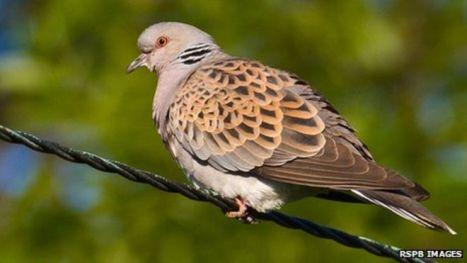 turtle dove 1